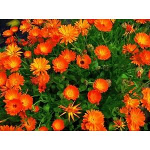 Цветы календулы, 0,5 кг