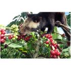 Кофе Индонезия Копи Лювак, 0,5 кг