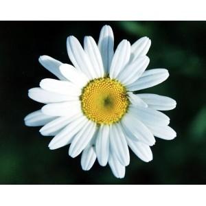 Ромашка цветки 1 сорт, 0,5 кг
