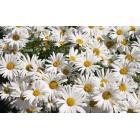 Ромашка цветки целые (Сербия), 0,5 кг