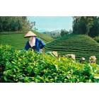Чай черный Вьетнамский ОРА (крупнолистовой), 0.5 кг